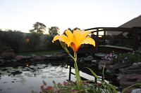 pond flower
