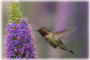 humming bird with purple flowers
