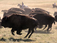 Buffalo roundup at Custer State Park