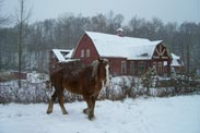 horse by barn in winter