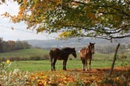 horses near tree in fall