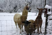 llamas in winter