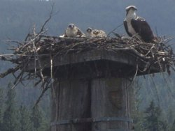 Eagle with baby birds in Coeur d'Alene