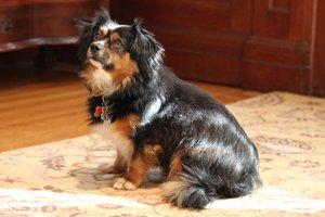 Tobie, the innkeeper's dog