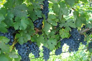picture of grapes in Mazza Vineyard