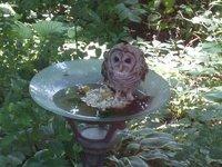baby owl in birdbath