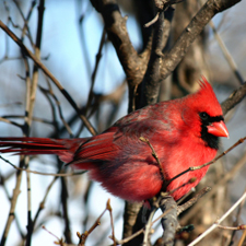 red bird perched on a barren tree