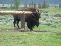 buffalo at Lamar trailhead hitching post in yellowstone national park