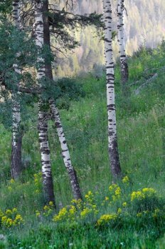 aspen trees and wildflowers in beartooth mountains