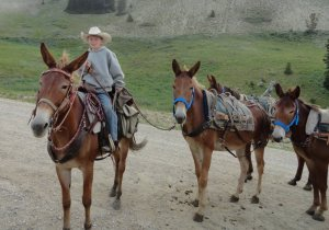 mules in pack string