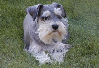 we sell Schnauzers at Big Horn Bed and Breakfast