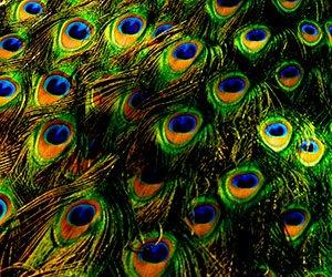 Peacock feathers at High Meadows Vineyard Inn in Scottsville, Virginia