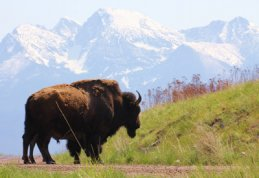 National Bison Range / Steve Pickel (c)-PickelsPhotography