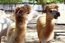 Alpacas at Old Irish in Denton, Texas of North Texas Bed and Breakfast Association