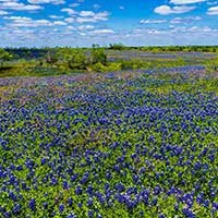 bluebonnets near the North Texas Area Bed and Breakfast Association