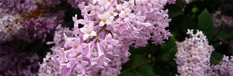lilac festival near Adair in Bethlehem, New Hampshire Photo by By Leonid Dzhepko (Own work) [CC-BY-3.0 (http://creativecommons.org/licenses/by/3.0)], via Wikimedia Commons