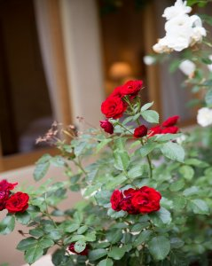 roses at Blue Iguana Inn in Ojai, California