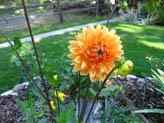 Orange Dalia