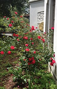 Roses at The Confederate House Bed and Breakfast