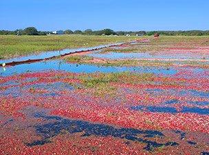 Cranberry Bog in Nantucket Cape Cod