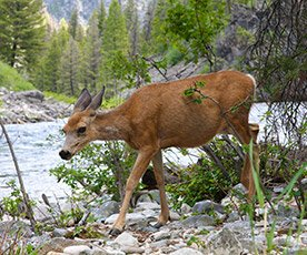 Deer Along Salmon River in Idaho