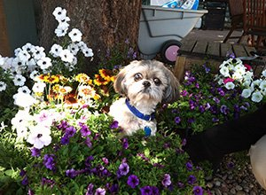 Cute Dog in flowers at Colorado Cottages