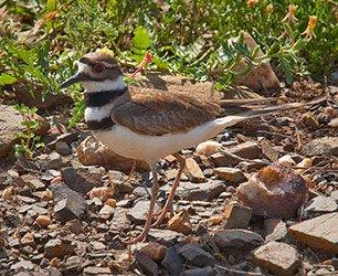 Killdeer Bird in Llano Texas
