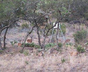 Wild Deer at Phoenix Nest Guest Houses in Llano Texas