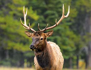 Elk in the Smoky Mountains of Tennessee