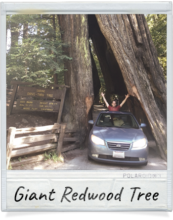 Driving through a Giant Redwood Tree