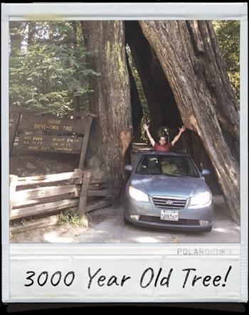 Shrine Drive-Thru Tree Meyers Flat