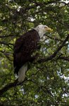 Bald Eagle in a Tree in Alaska