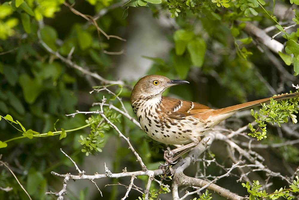 Long-billed Thrasher perched high up in a tree