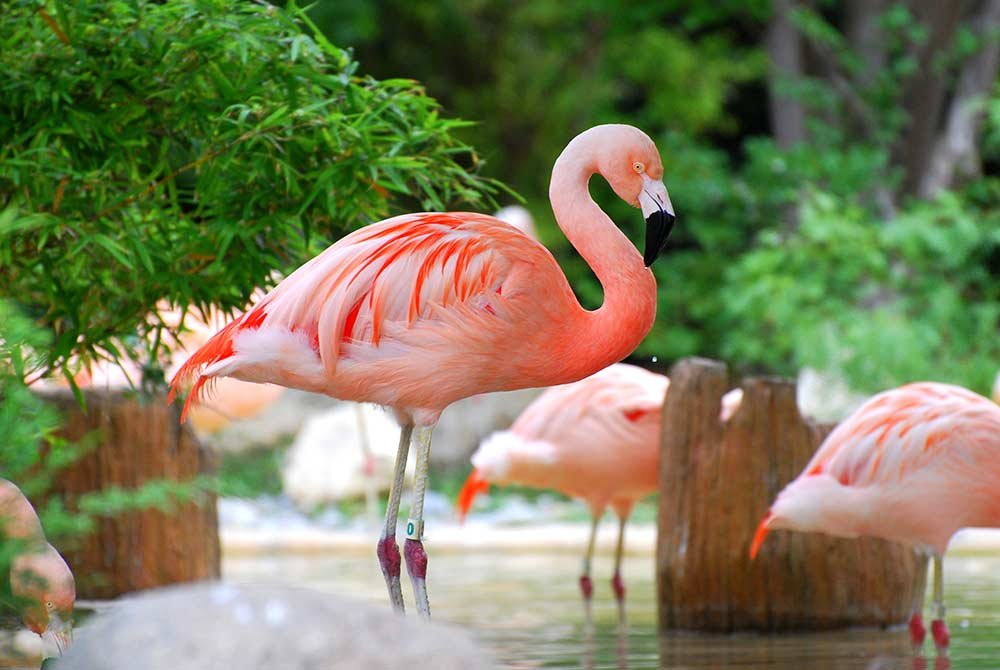 Flamingos staning in water