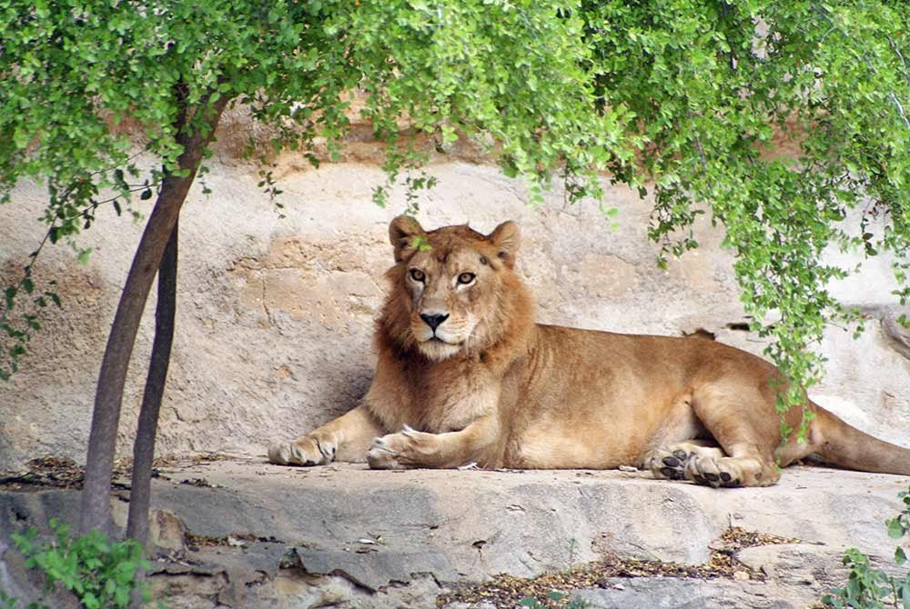 Lioness laying on stone platform by tree