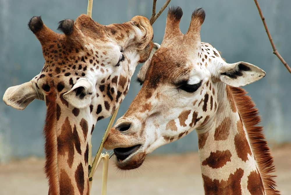 Giraffes eating branches