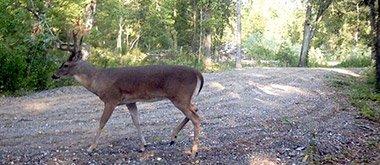 big buck at Windsong Hollow Ranch