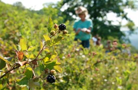 Berry Picking at Smoke Hole Resort