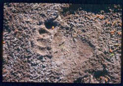 bear footprint in mud