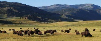 buffalo in the Lamar valley of yellowstone park