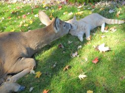 Deer and Cat Kissing