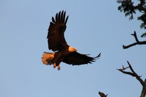 Black Walnut Point Inn Area balk eagle