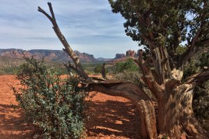 Local Tree in Desert