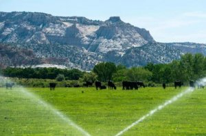 Cows in a field framed by running sprinklers