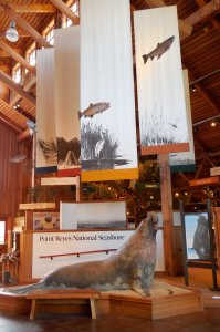 elephant seal museum display