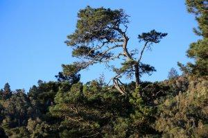 bishop pine treeline