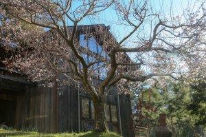 japanese cherry tree and inn