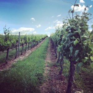 A vineyard in summer