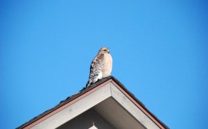 Hawk siting on top of a cottage roof