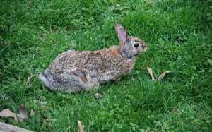 A rabbit on mowed grass